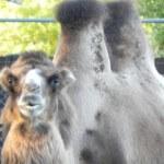 This photograph was taken at Bramble Zoo Waterown, SD in Eastern South Dakota. #bramble #camel