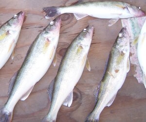 This photograp sHows 5 walleye that were caught from the Misouri RIiver in SD